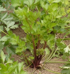Jakie są różne rodzaje wykorzystania nasion selera?